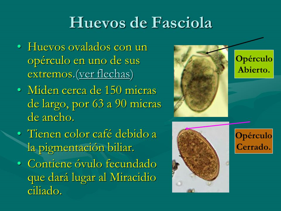 Huevos de Fasciola Huevos ovalados con un opérculo en uno de sus extremos.(ver flechas)