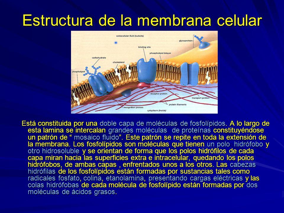 Estructura de la membrana celular