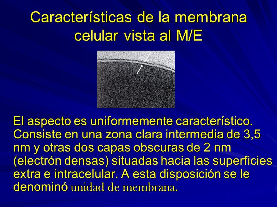 Características de la membrana celular vista al M/E