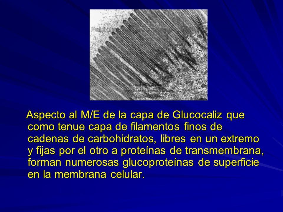 Aspecto al M/E de la capa de Glucocaliz que como tenue capa de filamentos finos de cadenas de carbohidratos, libres en un extremo y fijas por el otro a proteínas de transmembrana, forman numerosas glucoproteínas de superficie en la membrana celular.