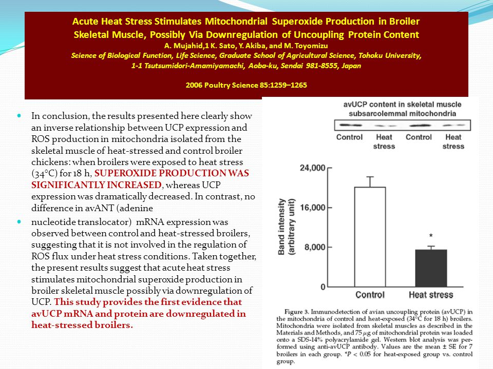 Acute Heat Stress Stimulates Mitochondrial Superoxide Production in Broiler Skeletal Muscle, Possibly Via Downregulation of Uncoupling Protein Content A. Mujahid,1 K. Sato, Y. Akiba, and M. Toyomizu Science of Biological Function, Life Science, Graduate School of Agricultural Science, Tohoku University, 1-1 Tsutsumidori-Amamiyamachi, Aoba-ku, Sendai 981-8555, Japan 2006 Poultry Science 85:1259–1265