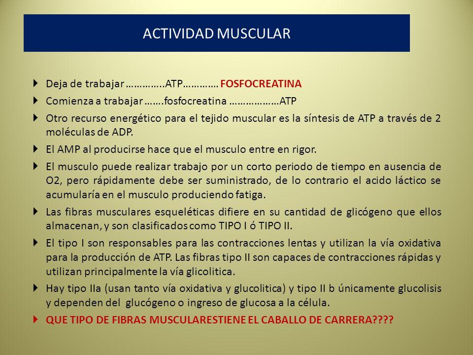 ACTIVIDAD MUSCULAR Deja de trabajar …………..ATP…………. FOSFOCREATINA
