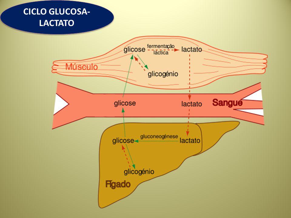 CICLO GLUCOSA-LACTATO