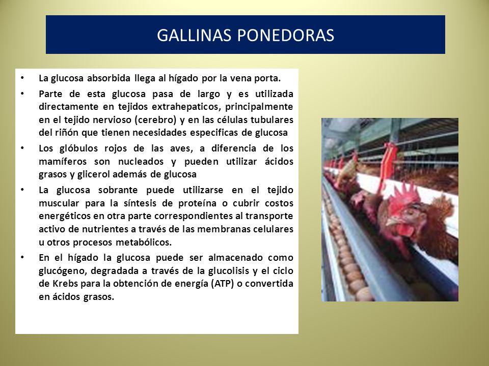 GALLINAS PONEDORAS La glucosa absorbida llega al hígado por la vena porta.