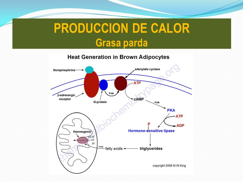 PRODUCCION DE CALOR Grasa parda