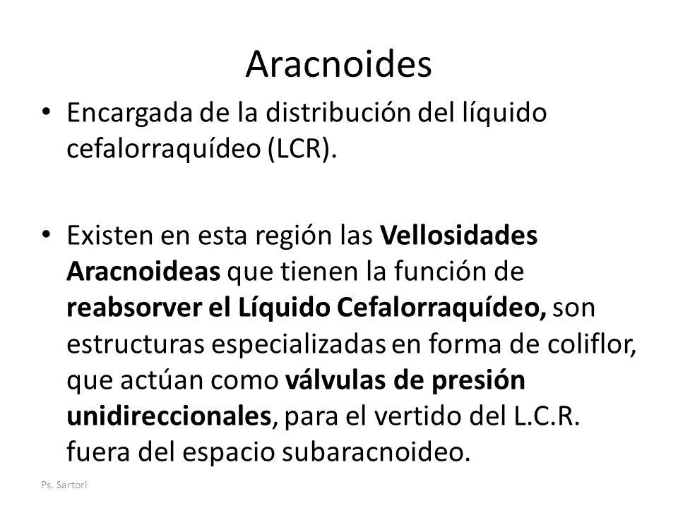 Aracnoides Encargada de la distribución del líquido cefalorraquídeo (LCR).