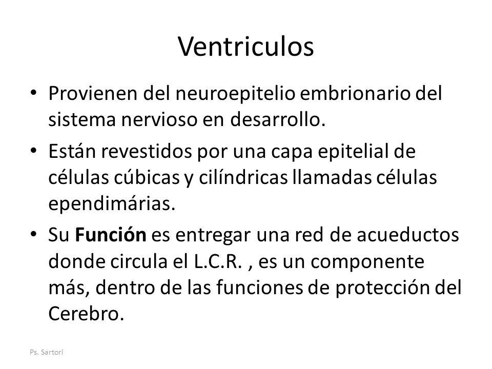 Ventriculos Provienen del neuroepitelio embrionario del sistema nervioso en desarrollo.