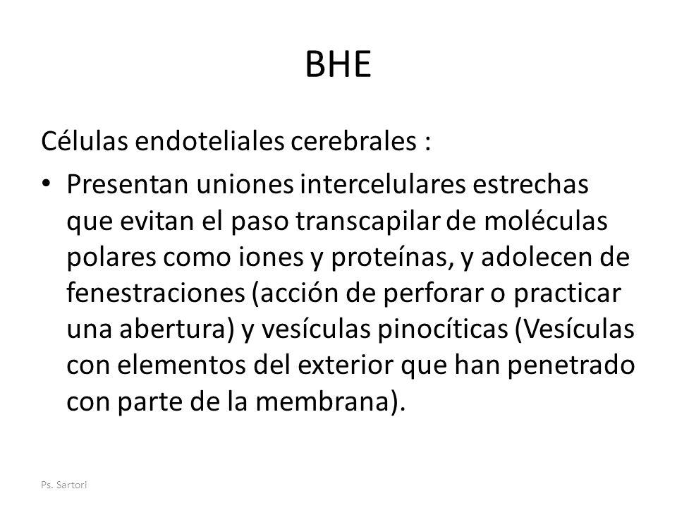 BHE Células endoteliales cerebrales :