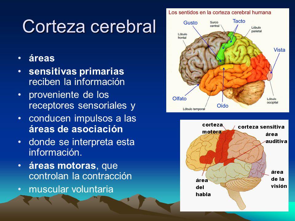 Corteza cerebral áreas sensitivas primarias reciben la información