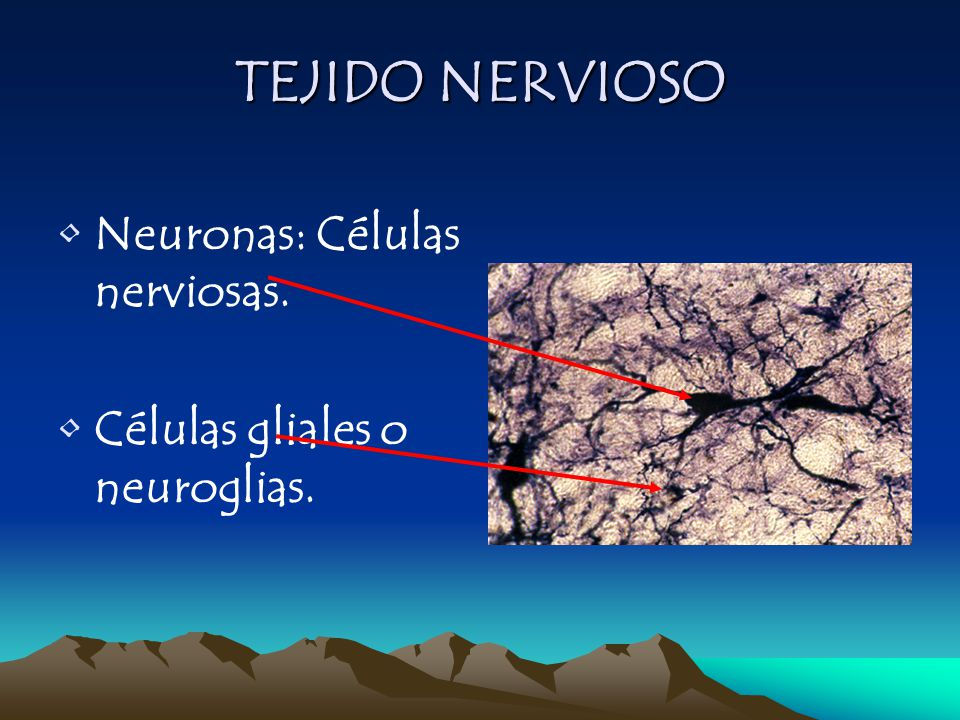 TEJIDO NERVIOSO Neuronas: Células nerviosas.