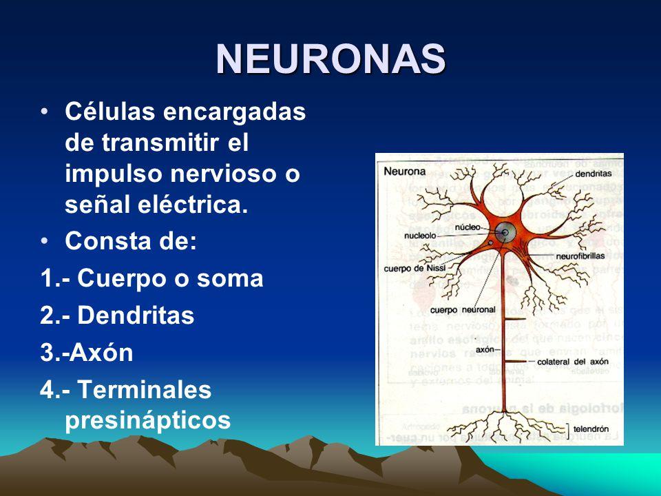 NEURONAS Células encargadas de transmitir el impulso nervioso o señal eléctrica. Consta de: 1.- Cuerpo o soma.
