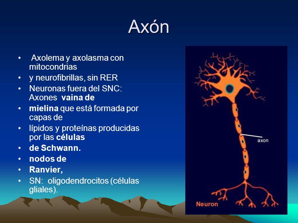 Axón Axolema y axolasma con mitocondrias y neurofibrillas, sin RER