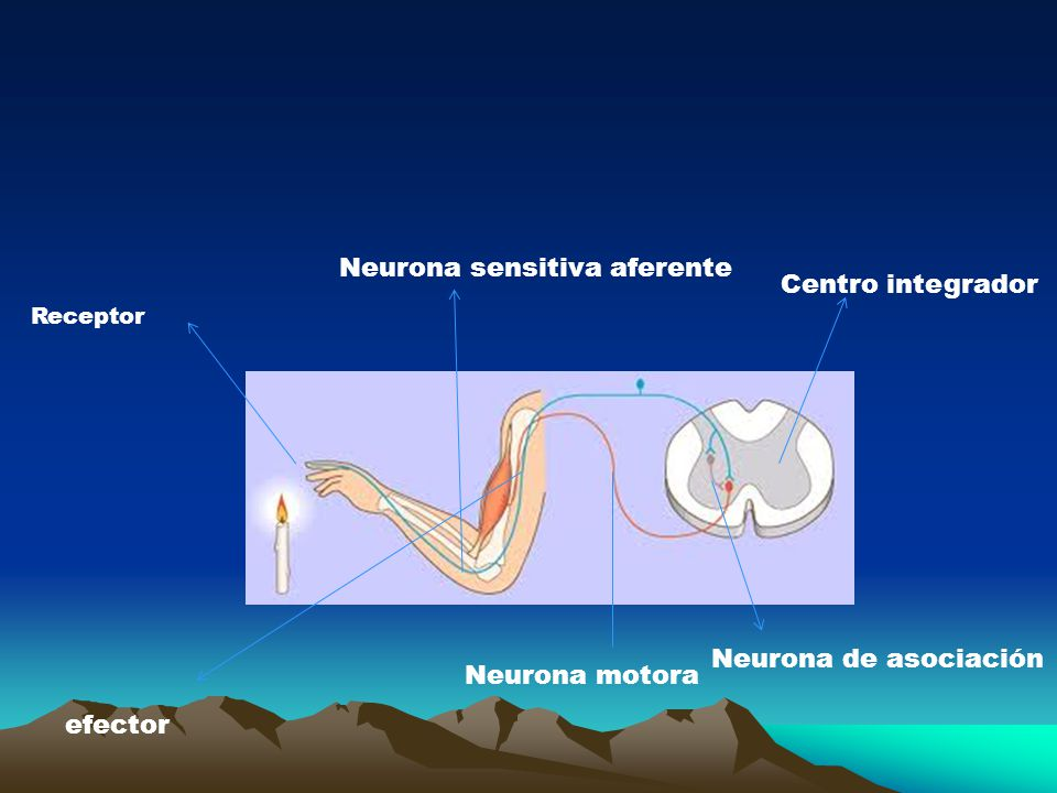 Neurona sensitiva aferente Centro integrador