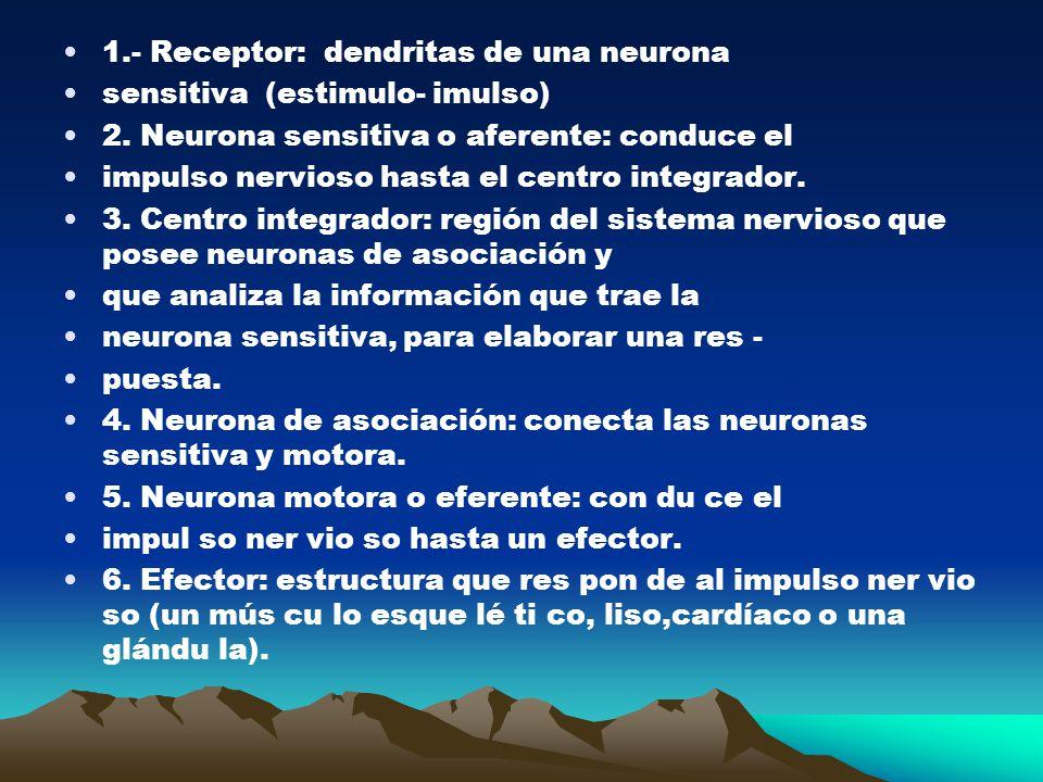 1.- Receptor: dendritas de una neurona