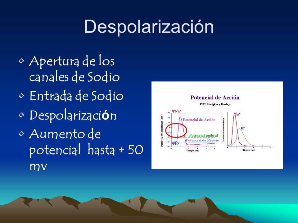 Despolarización Apertura de los canales de Sodio Entrada de Sodio