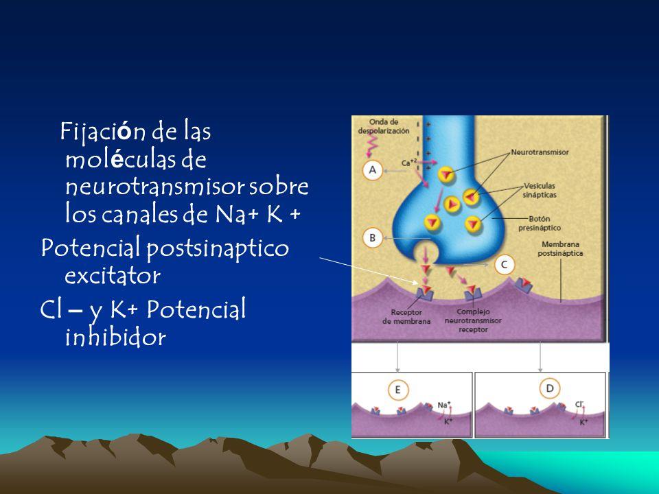 Fijación de las moléculas de neurotransmisor sobre los canales de Na+ K +