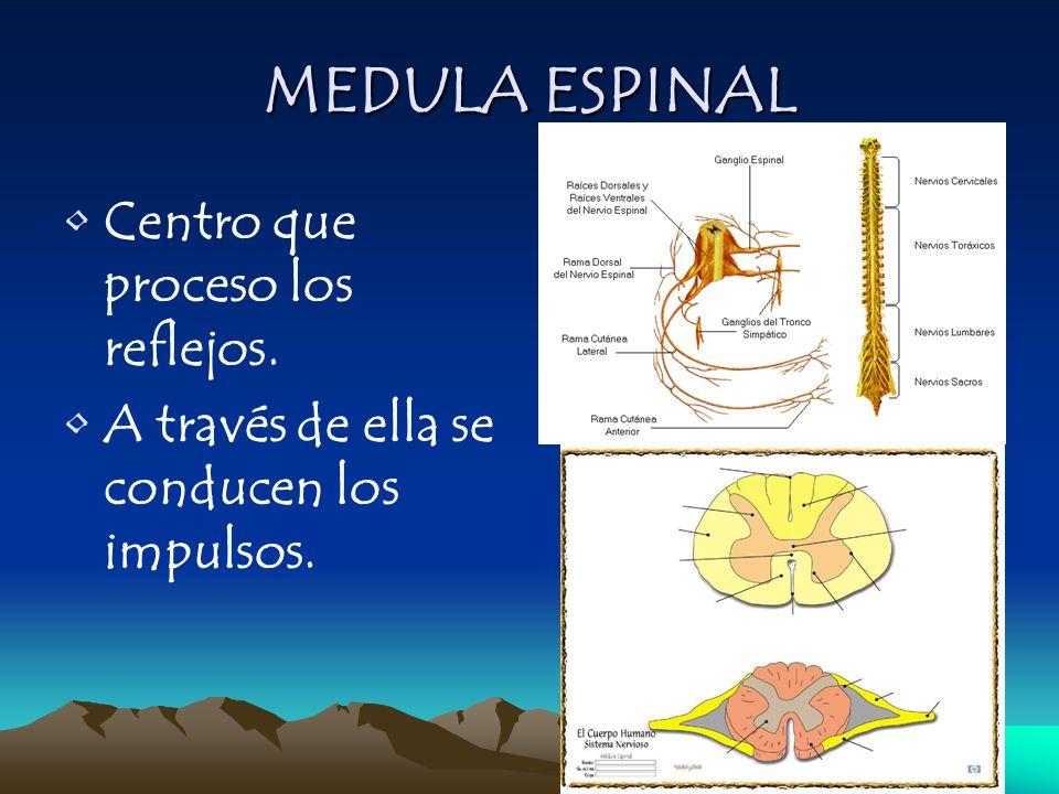MEDULA ESPINAL Centro que proceso los reflejos.
