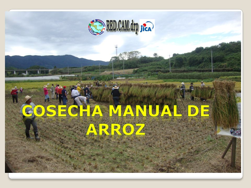 COSECHA MANUAL DE ARROZ