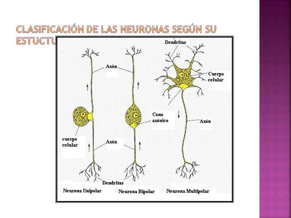 Clasificación de las Neuronas según su estuctura
