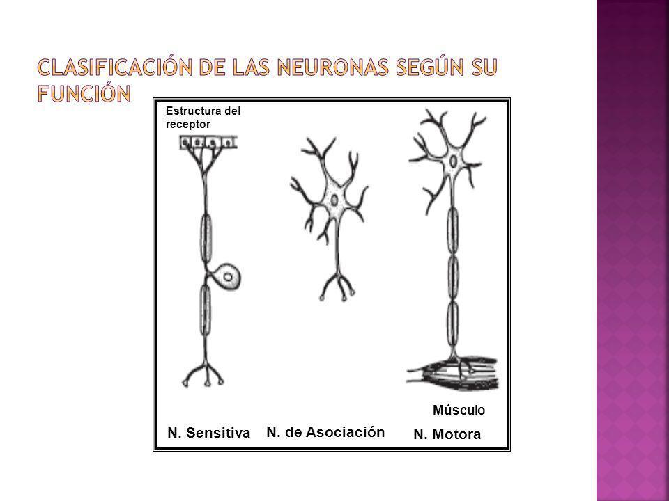 Clasificación de las Neuronas según su función