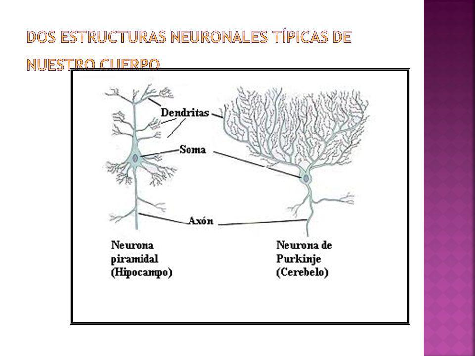 Dos estructuras neuronales típicas de nuestro cuerpo