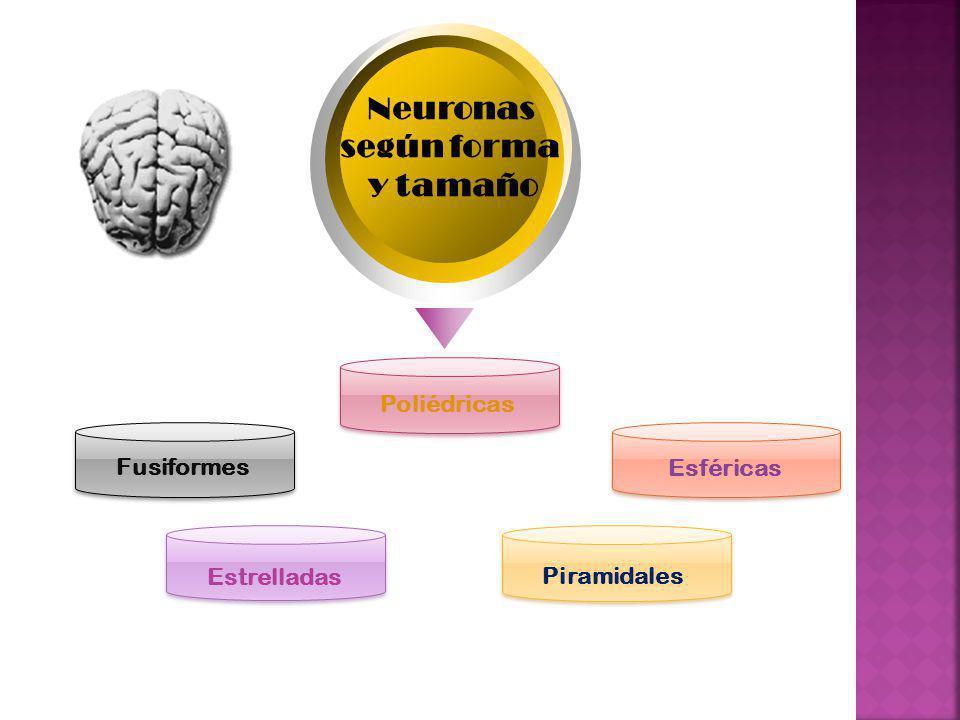 Neuronas según forma y tamaño