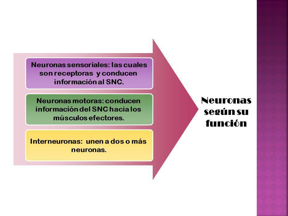 Neuronas según su función