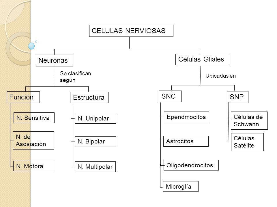 CELULAS NERVIOSAS Células Gliales Neuronas Función SNC Estructura SNP