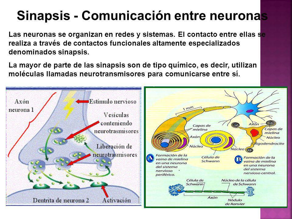 Sinapsis - Comunicación entre neuronas