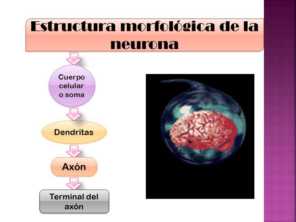 Estructura morfológica de la neurona