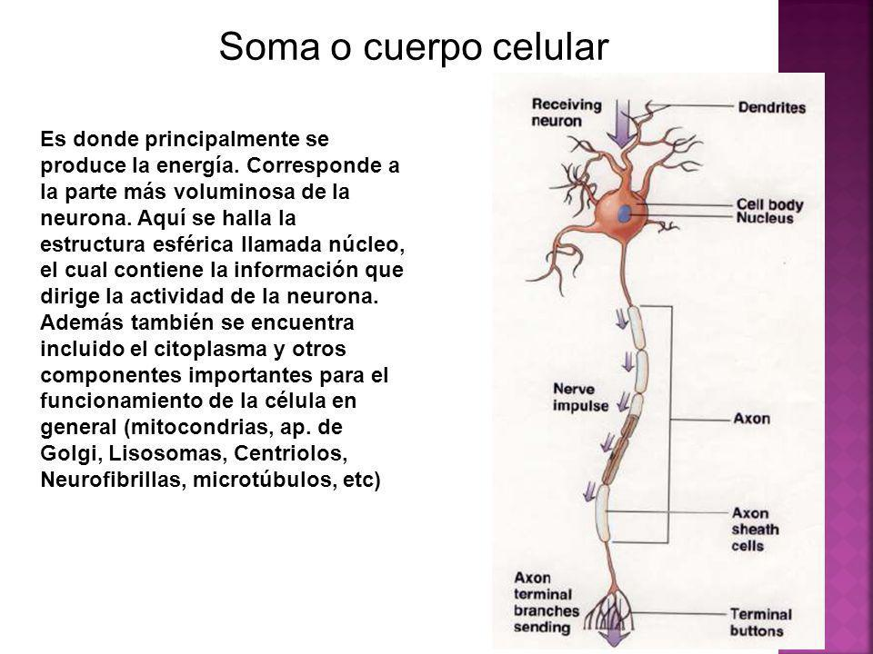 Soma o cuerpo celular