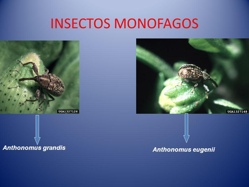 INSECTOS MONOFAGOS Anthonomus eugenii Anthonomus grandis