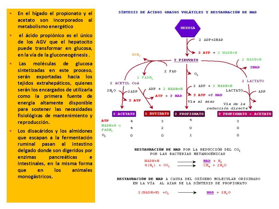 En el hígado el propionato y el acetato son incorporados al metabolismo energético