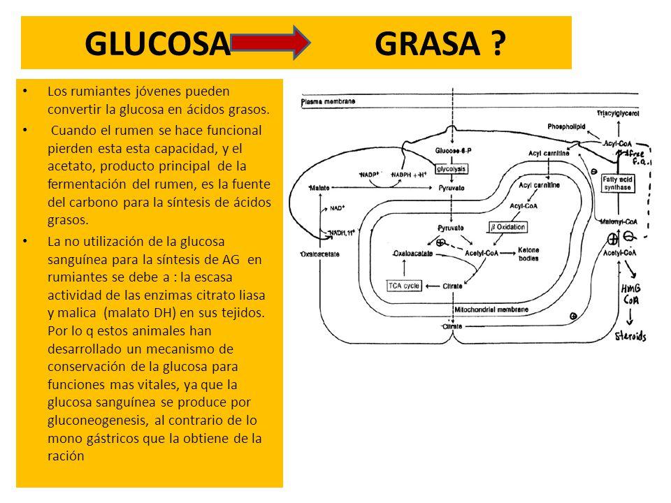 GLUCOSA GRASA Los rumiantes jóvenes pueden convertir la glucosa en ácidos grasos.