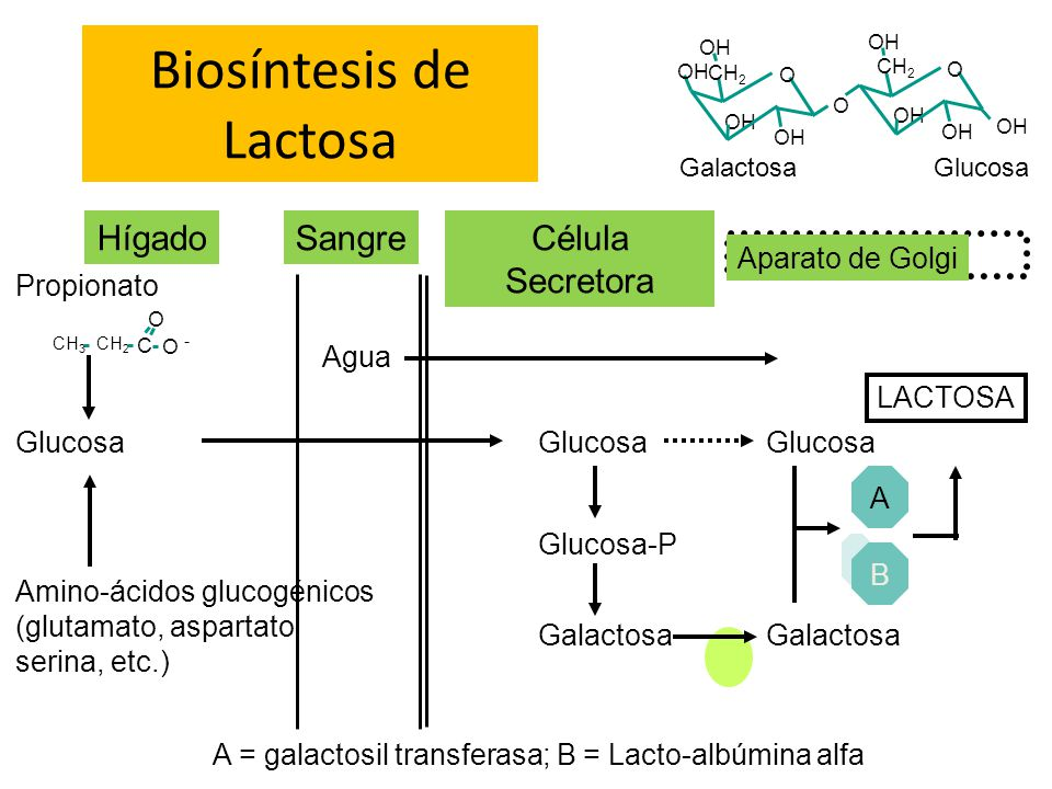 Biosíntesis de Lactosa
