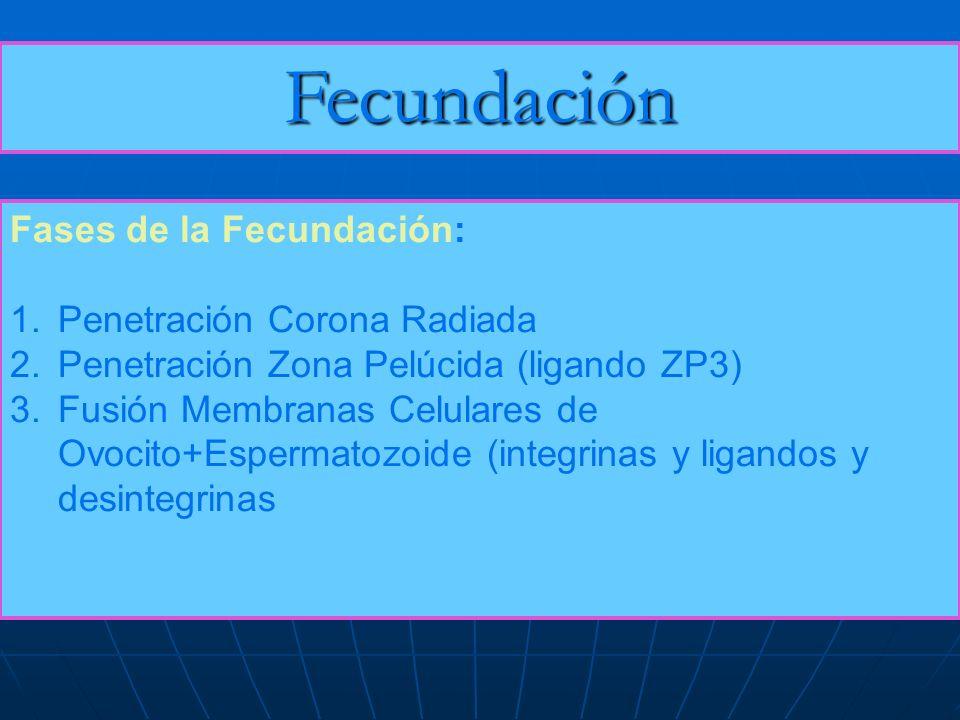 Fecundación Fases de la Fecundación: Penetración Corona Radiada