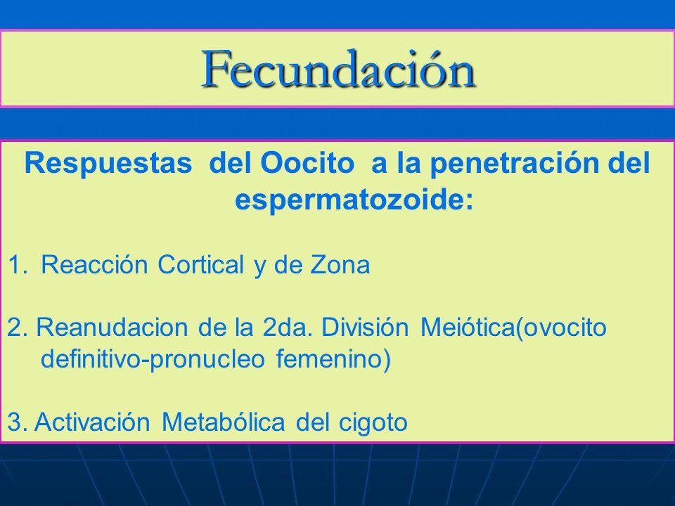 Respuestas del Oocito a la penetración del espermatozoide: