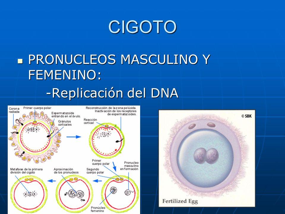 CIGOTO PRONUCLEOS MASCULINO Y FEMENINO: -Replicación del DNA