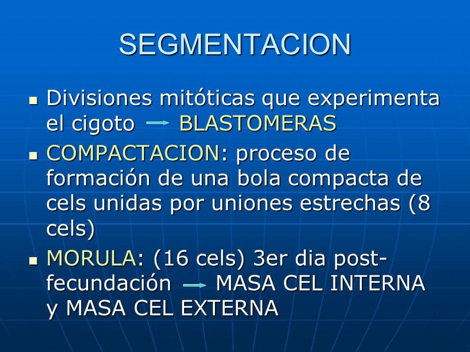 SEGMENTACION Divisiones mitóticas que experimenta el cigoto BLASTOMERAS.