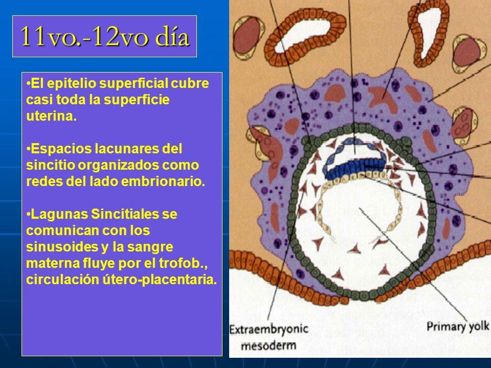 11vo.-12vo día El epitelio superficial cubre casi toda la superficie uterina.
