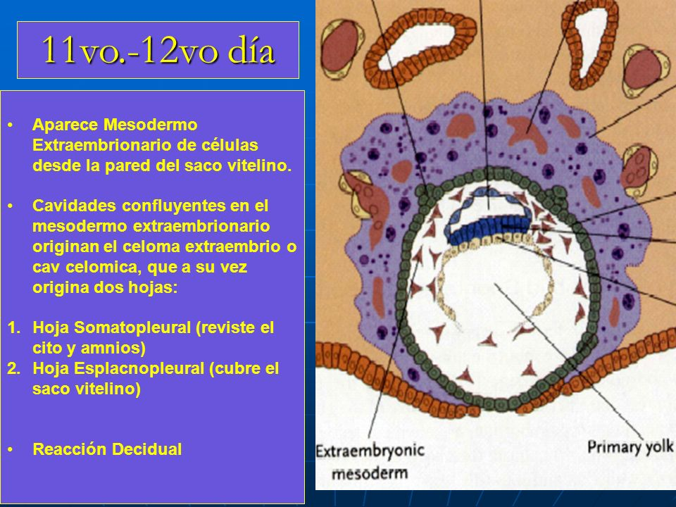 11vo.-12vo día Aparece Mesodermo Extraembrionario de células desde la pared del saco vitelino.