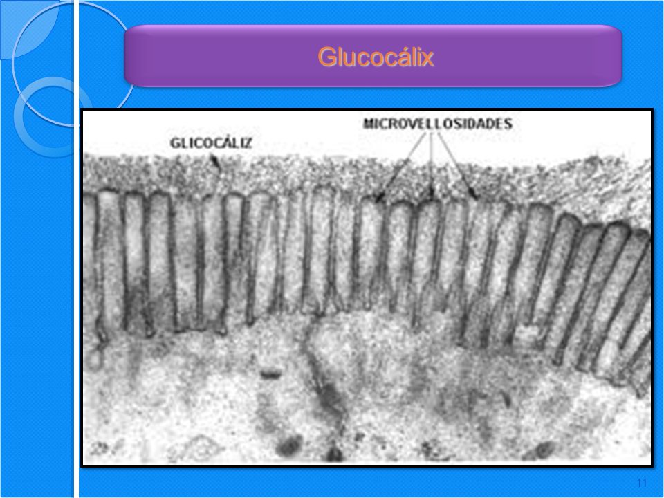 Glucocálix Protection: Cushions the plasma membrane and protects it from chemical injury.