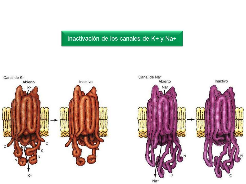 Inactivación de los canales de K+ y Na+