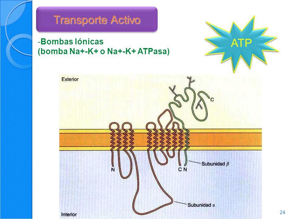 Transporte Activo ATP Bombas Iónicas (bomba Na+-K+ o Na+-K+ ATPasa)