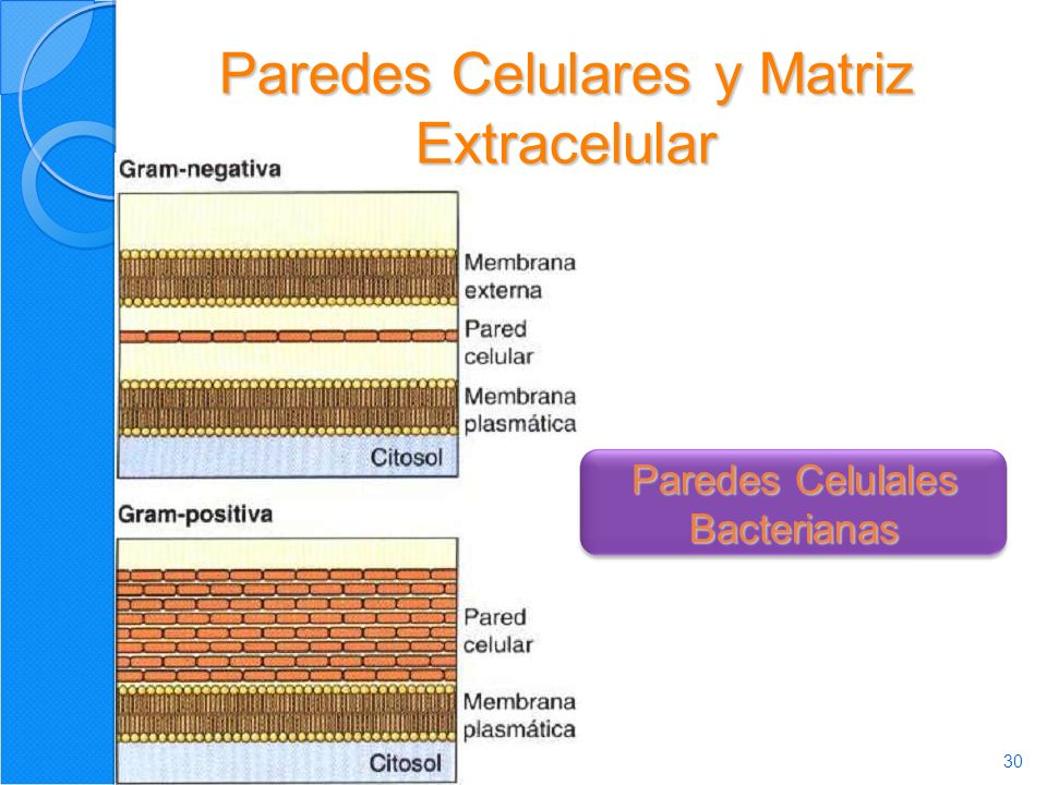 Paredes Celulares y Matriz Extracelular