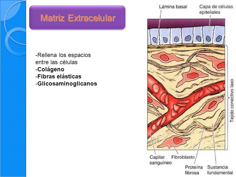 Matriz Extracelular Rellena los espacios entre las células Colágeno