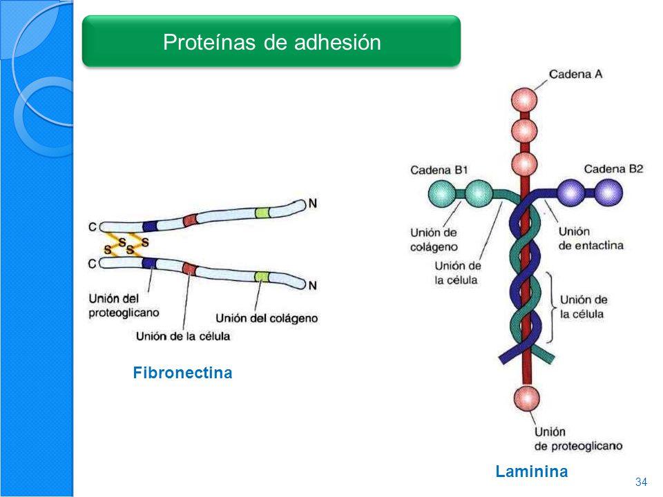 Proteínas de adhesión Fibronectina Laminina 34