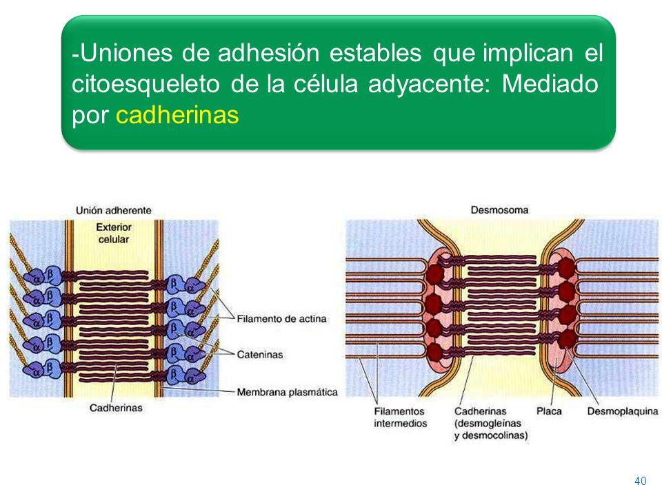 Uniones de adhesión estables que implican el citoesqueleto de la célula adyacente: Mediado por cadherinas