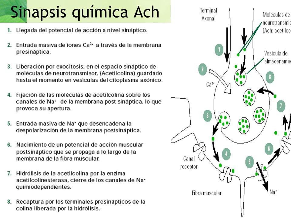 Sinapsis química Ach