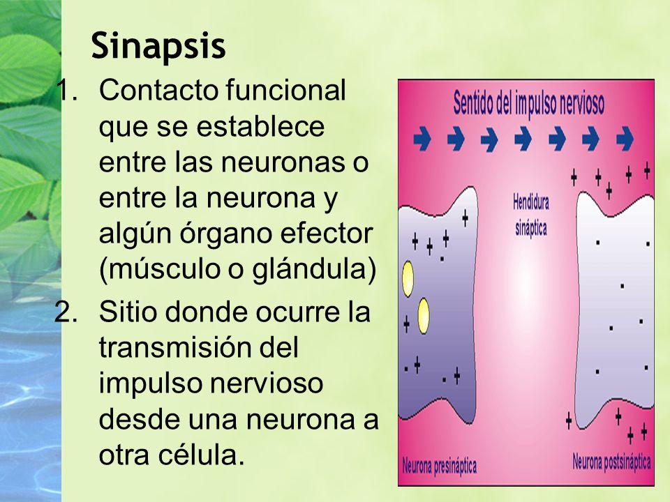 Sinapsis Contacto funcional que se establece entre las neuronas o entre la neurona y algún órgano efector (músculo o glándula)